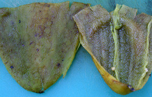 Peeled, destemed, and deseeded green chiles on cutting board