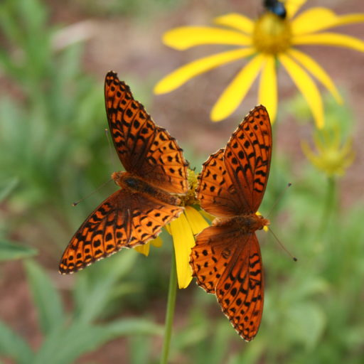 Two orange and brown butterflies on a yellow flower.